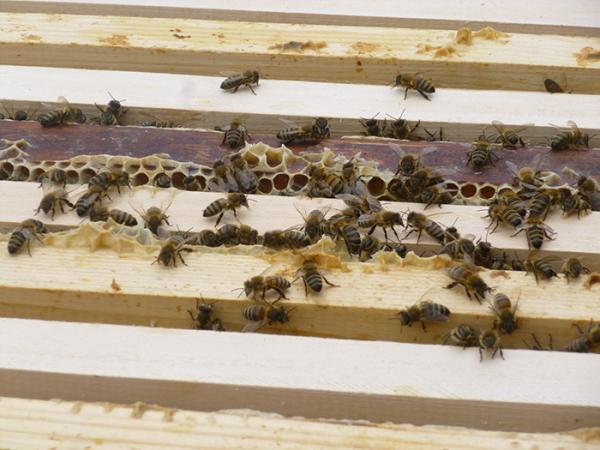 The Museum bees at home in their hives