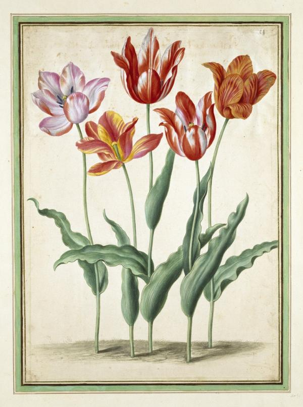 Print of Tulips, Johann Jakob Walther, ca. 1650-70. Museum no. 9174:31. © Victoria and Albert Museum, London.