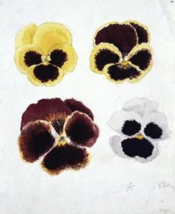 Four pansy flowers