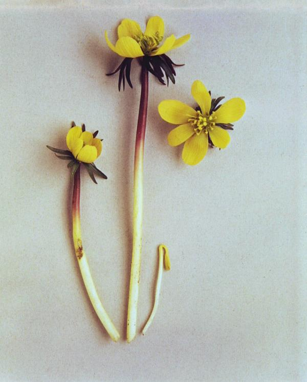 Photograph of Winter Aconite (Eranthis hyemalis), Roger Phillips, ca. 1977 (photographed), 1994 (printed). Museum no. E.578:2-1994. © Victoria and Albert Museum, London/ Roger Phillips.