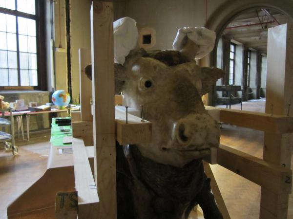 The head of an ox, sporting some 'ear-muffs' to protect his horns