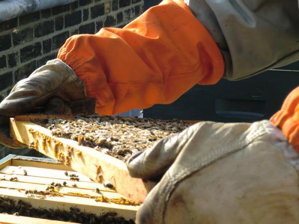Our hardworking bees. © Rena Melnyczuk
