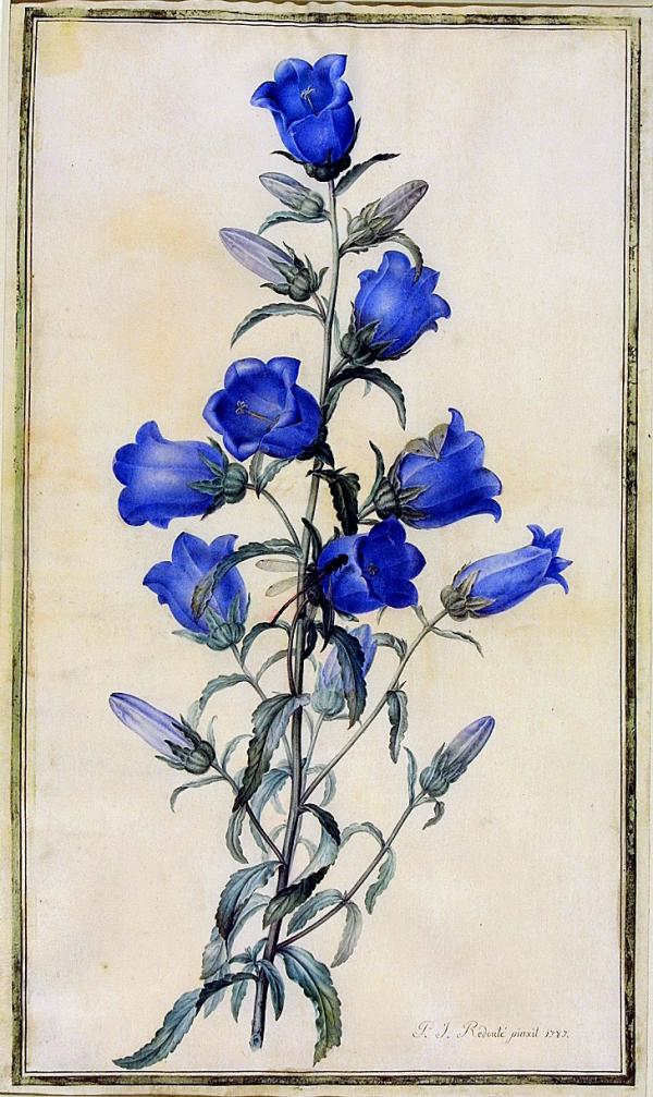 Watercolour of Canterbury Bells (Campanula medium), Redouté, 1787. Museum no. E.91-1947. © Victoria and Albert Museum, London.