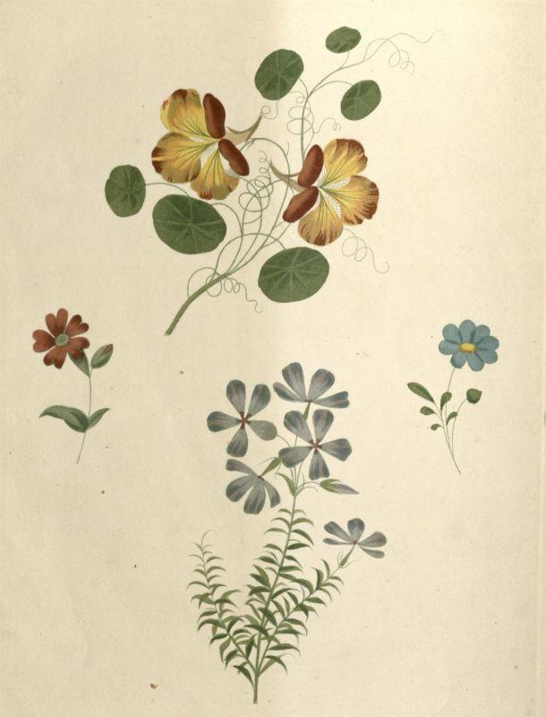 Nasturtiums by George Brookshaw© Victoria and Albert Museum,
