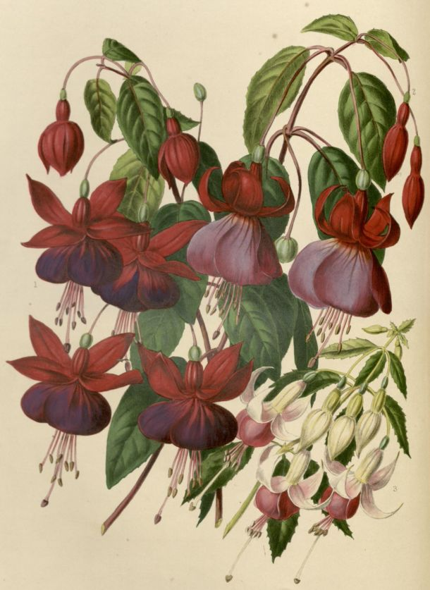 Fuschias by Augusta Withers, 'Illustrated Bouquet' NAL 48.B.30 © Victoria and Albert Museum,