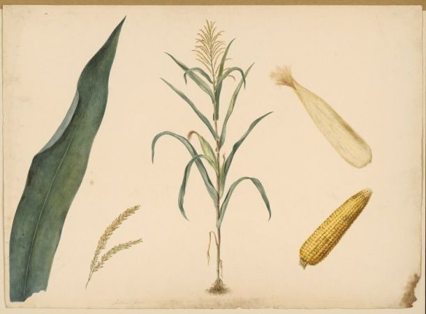 Drawing of a maize plant, ca. 1825. Museum number IS.16-1963. © Victoria & Albert Museum.