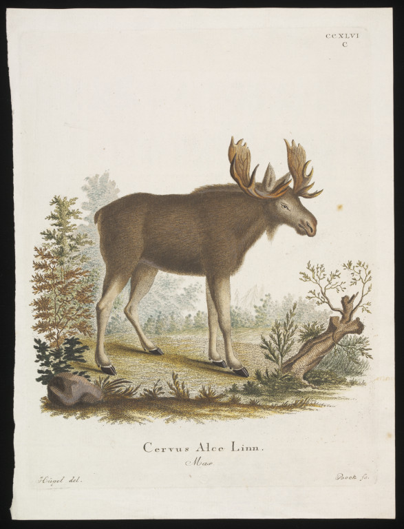 'Cervus Alce Linn', hand- coloured engraving print on laid paper. engraved by Bock, after Hüget, German (possibly), late 18th - early 19th century (V&A 29638:164)