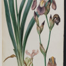 Ferdinand Bauer, Iris Germanicus, watercolour on paper (MS. Sherard 245/70) © Bodleian Library, University of Oxford 2015