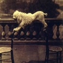 It's a bit of a balancing act! Dog balancing on two chairs on the balcony of 5 Princes Gardens, albumen print, Clementina, Lady Hawarden, London, ca.1861. V&A PH.457:330-1968