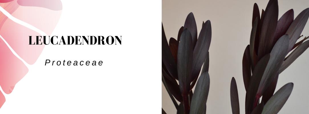 Leucadendron Vela letterbox flowers
