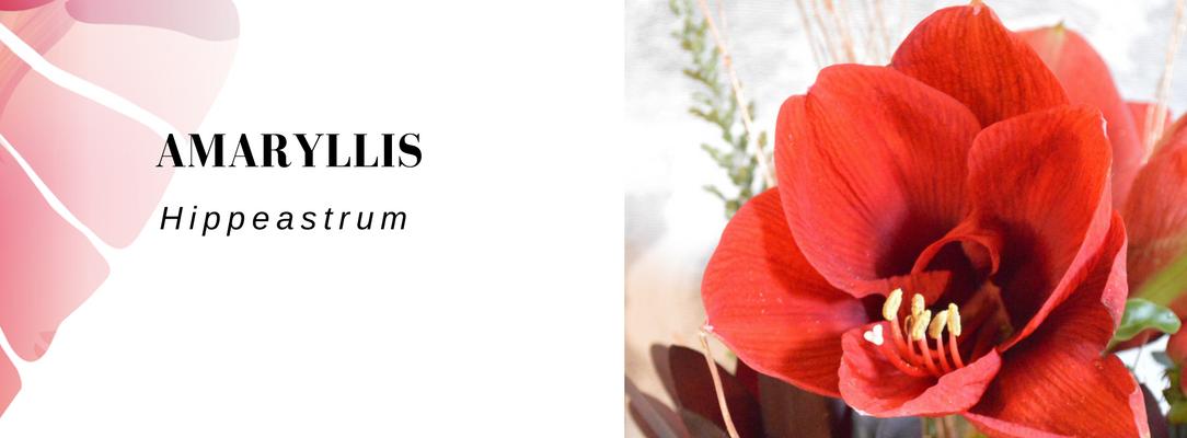 amaryllis Vela letterbox flowers