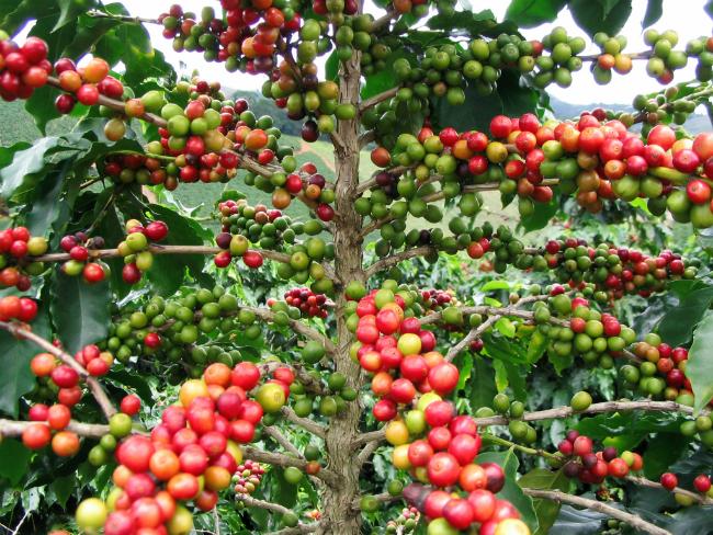 Árbol del café