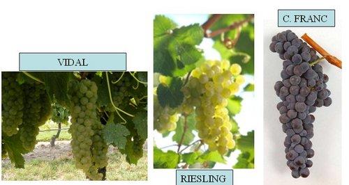 vinos de hielo variedades vidal riesling cabernet franc