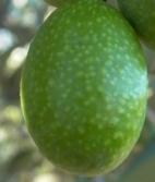 variedad-aceituna-frantoio
