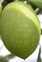 variedad-aceituna-Ogliarola