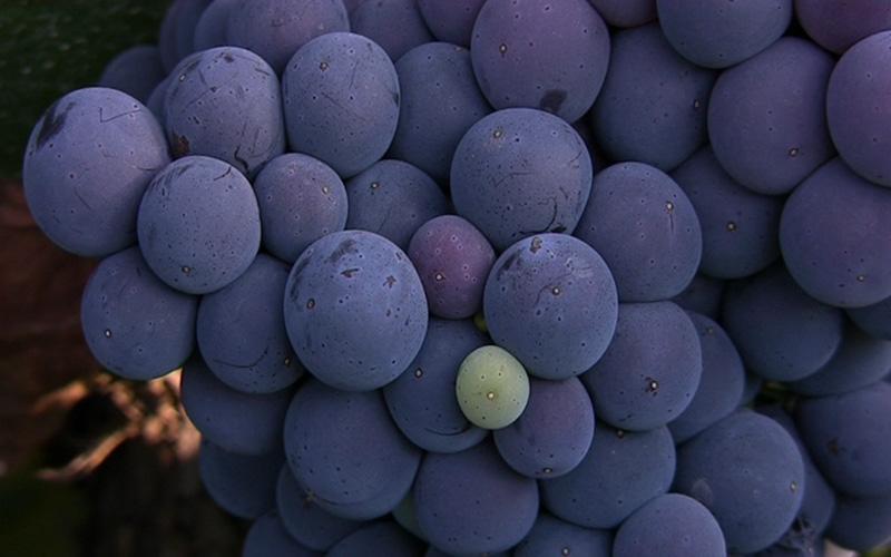 uva bobal resveratrol vino do utiel requena