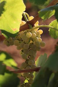 Uva Chardonnay Utiel-Requena