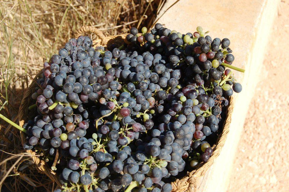 La cosecha, uva muy desigual