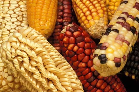Clases de maíz