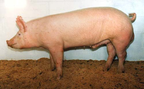 Cerdo blanco