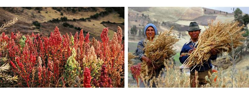 Plantaciones de quinoa