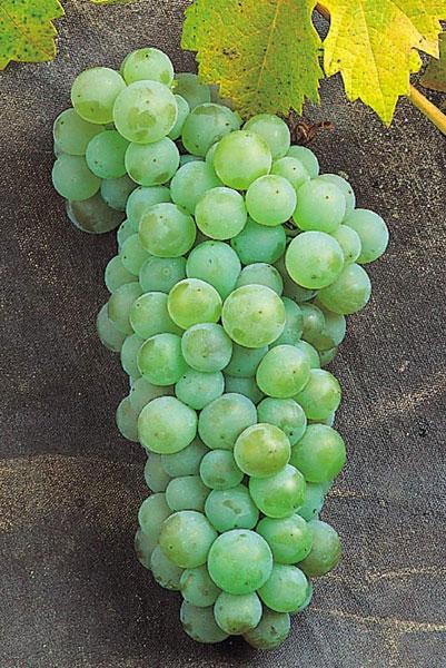 Variedad de uva: Doña Blanca