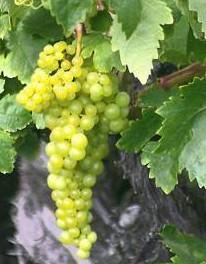 Tipo de uva Malvasía