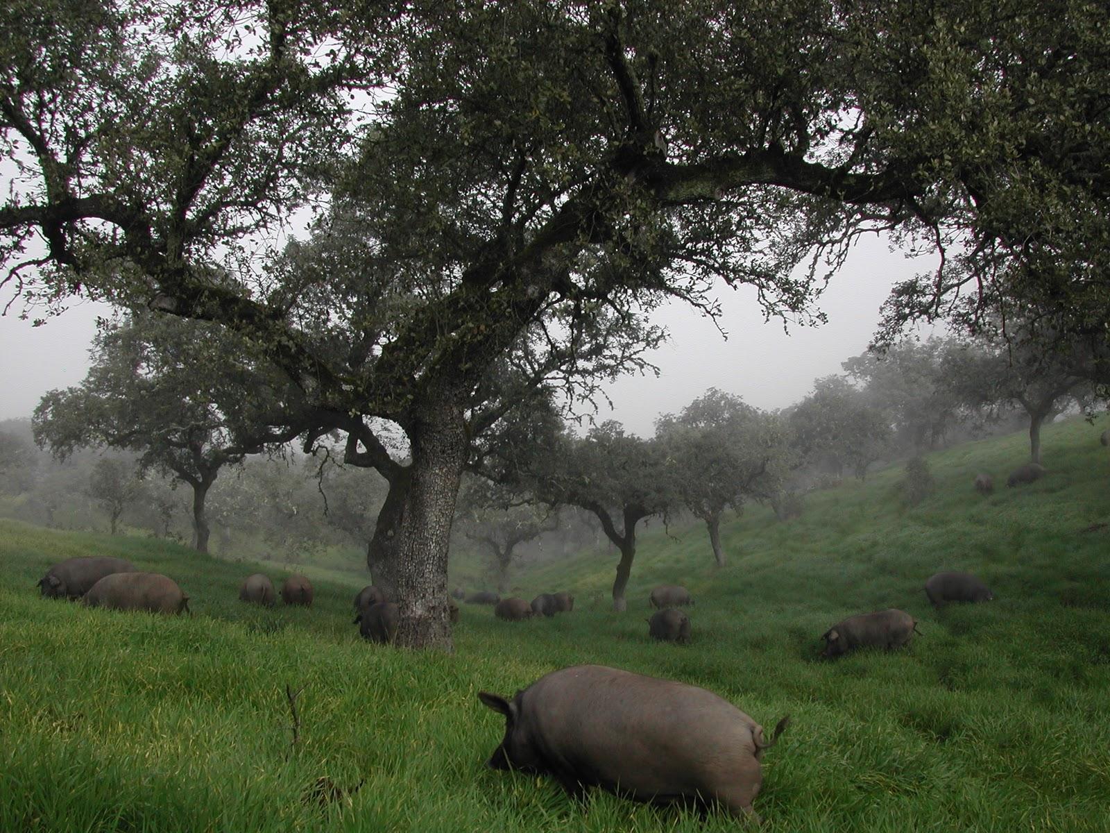 Cerdo ibérico de bellota durante la montanera