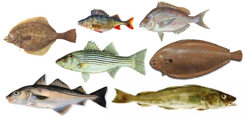 Maridaje de vinos con pescado for Variedad de peces