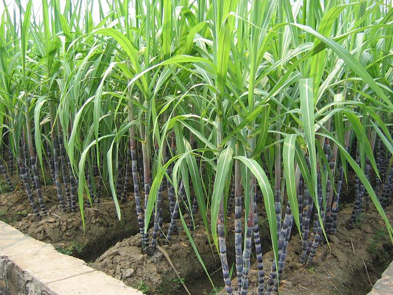 Plantacion de caña de azucar