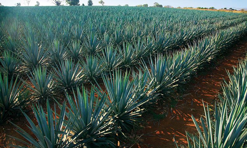 Planta del agave azul