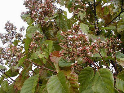 planta de la quinina
