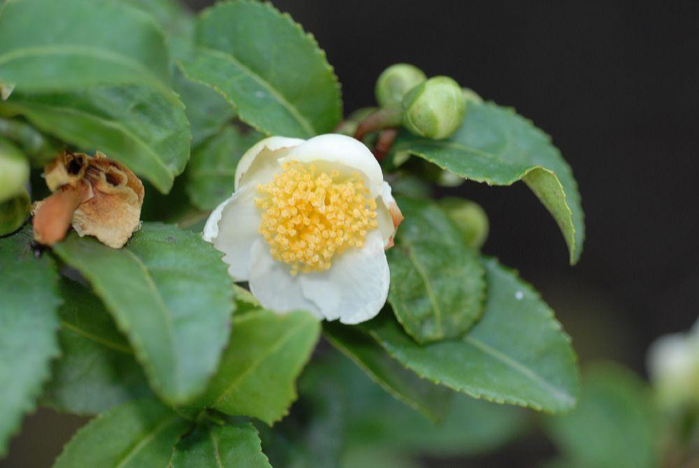 Flor de la planta del té