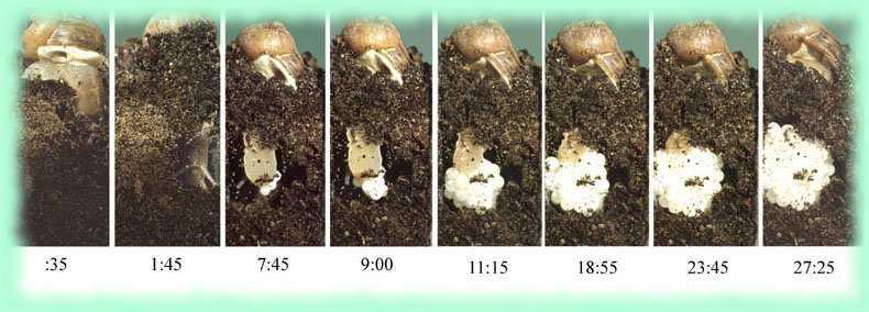 Como curiosidad, secuencia de una puesta de caracol