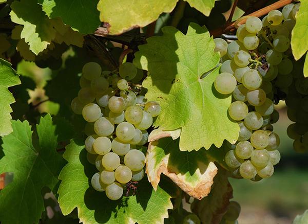 Uvas blancas utilizadas para elaboración de coñac