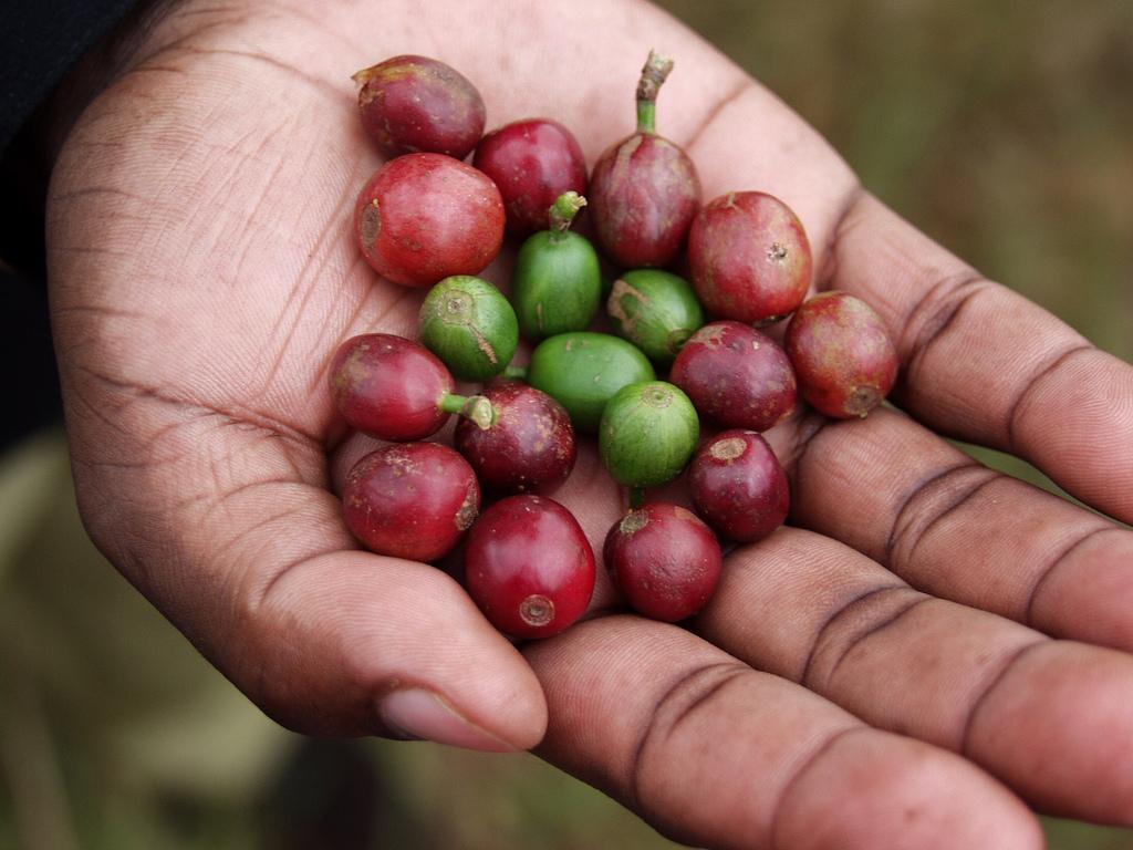 cerezas cafe arabica robusta