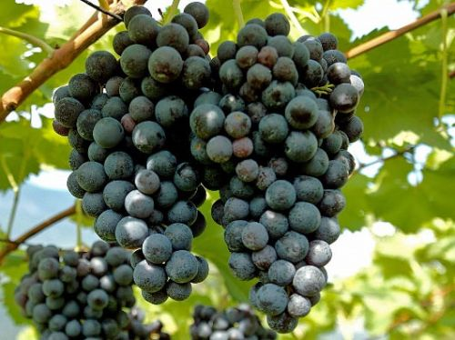 Szürkebarát (Pinot Gris)