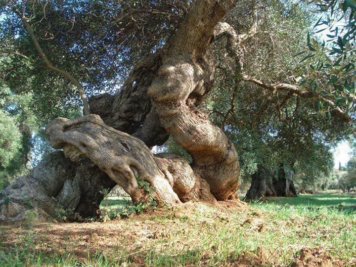 Milenario con tronco retorcido