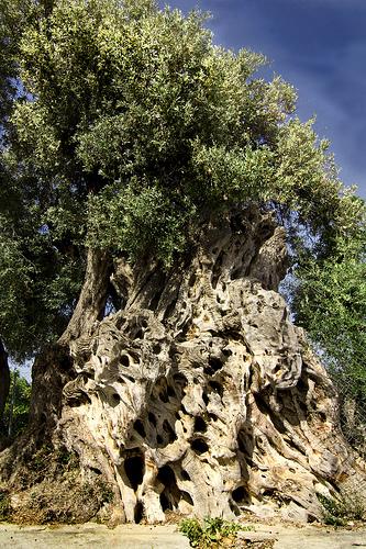 La olivera grossa