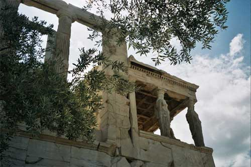 Olivo Atenea Partenon