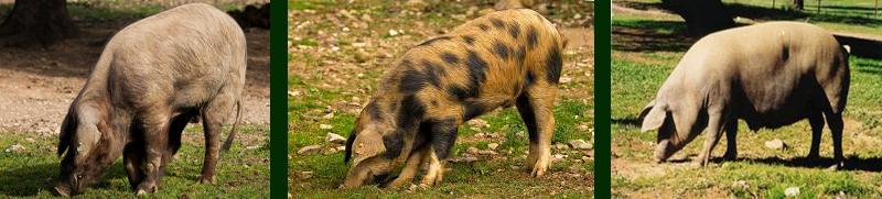 Cerdos ibéricos puros