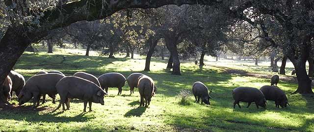 Cerdos Ibericos de Bellota