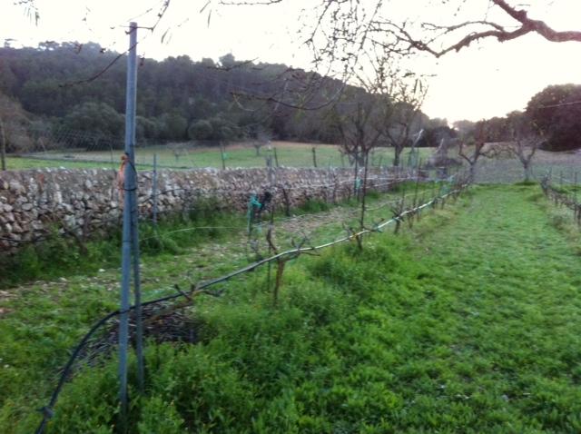 Ceps de Macabeu, vinya de Binalagant
