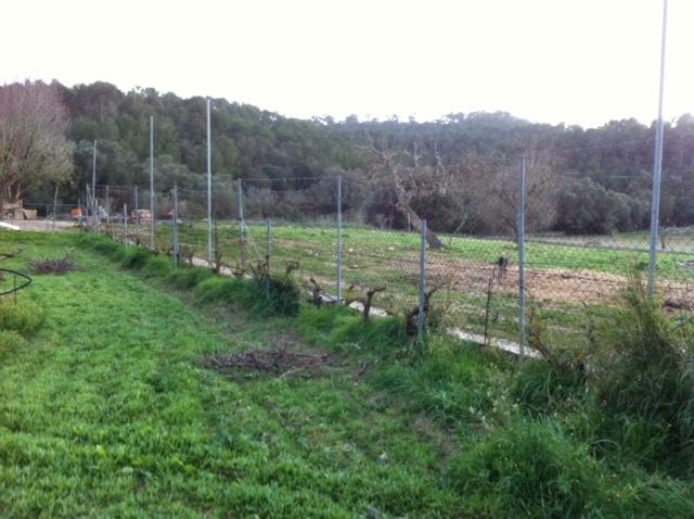 Ceps de Cabernet Sauvignon, vinya de Binalagant
