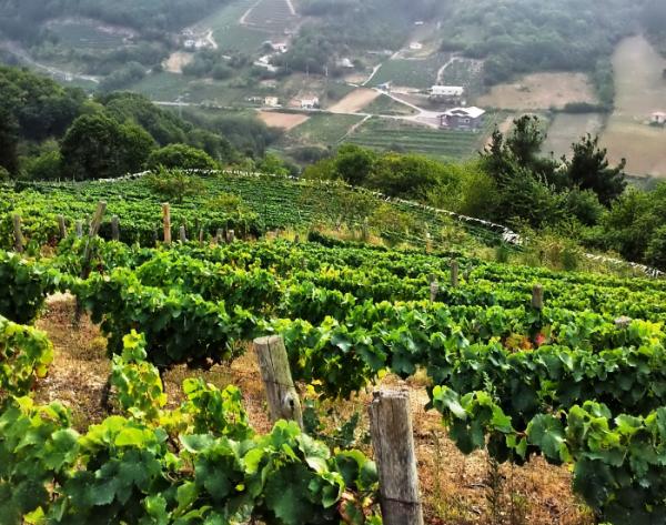 Viñedo en Asturias