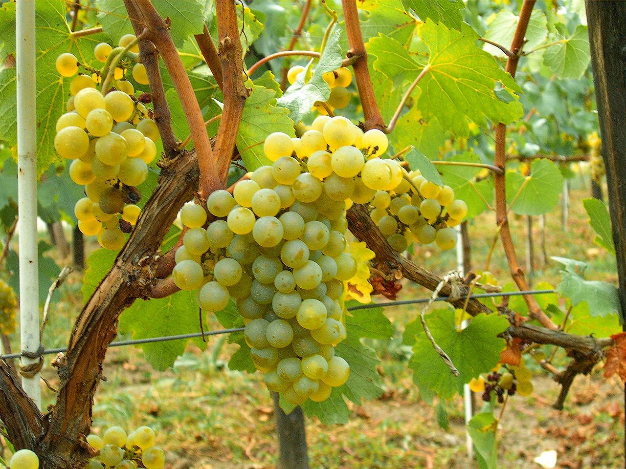 Viñas de chardonnay en Utiel-Requena
