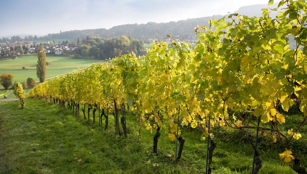 Viña de Vinho Verde