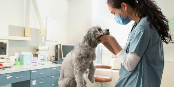 How do I Become a Veterinary Nurse?