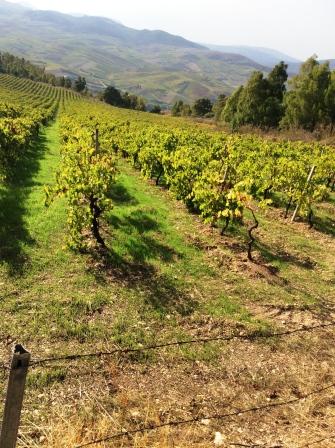 Nordlig-exponering,-cataratto-for-mousserande-vin-ursprung-Sicilien