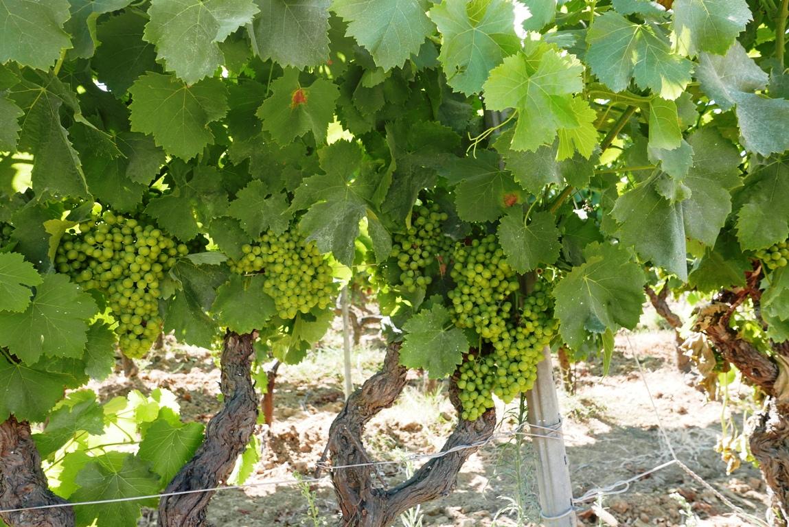 grenachedruvor-chateau-minuty-vinbanken